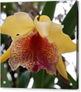 Yellow Red Orchid Acrylic Print