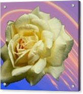 Yellow Rose 3 Acrylic Print