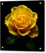 Yellow Rose 4 Acrylic Print