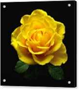 Yellow Rose 6 Acrylic Print
