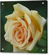 Yellow Rose And Frog Acrylic Print