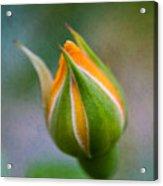 Yellow Rose Bud - Rose Bud Acrylic Print