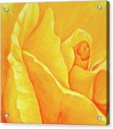 Yellow Rose Detail Acrylic Print
