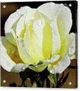 Yellow Rose Dew Drops Acrylic Print