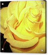 Yellow Rose For Friendship Acrylic Print
