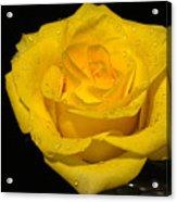 Yellow Rose  - Friendship,joy,good Health Acrylic Print