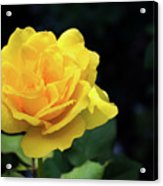 Yellow Rose - Full Bloom Acrylic Print