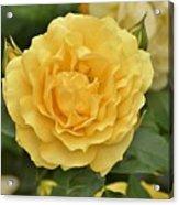 Yellow Rose IIi Acrylic Print