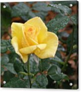 Yellow Rose In The Rain Acrylic Print