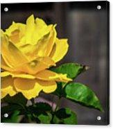 Yellow Rose Of Los Gatos Acrylic Print