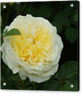 Yellow Rose Of Texas Too...   # Acrylic Print