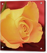 Yellow Rose On Red Acrylic Print