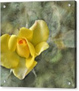 Yellow Rose With Old Marbel Texture Background Acrylic Print