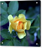Yellow Rose With Purple Contrast 0357 H_2 Acrylic Print