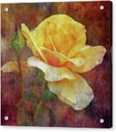 Yellow Rose With Raindrops 3590 Idp_2 Acrylic Print
