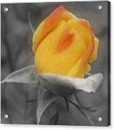 Yellow Rosebud Partial Color Acrylic Print