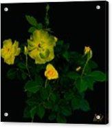 Yellow Roses Acrylic Print