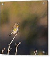 Yellow Rump Acrylic Print