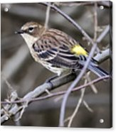 Yellow-rumped Warber In Fall Colors Acrylic Print