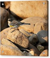 Yellow Rumped Warbler On River Rocks Acrylic Print