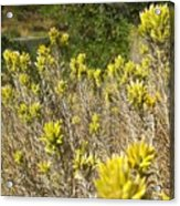 Yellow Sage Flower Acrylic Print