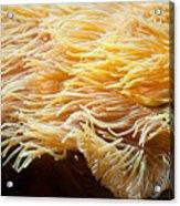 Yellow Sea Anemones Macro Acrylic Print