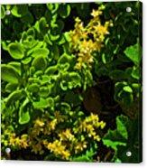 Yellow Sedum At Pilgrim Place In Claremont-california Acrylic Print