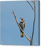 Yellow Shafted Flicker Front Acrylic Print