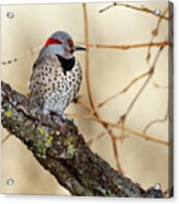 Yellow-shafted Northern Flicker Acrylic Print