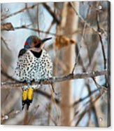 Yellow-shafted Northern Flicker Staying Warm Acrylic Print