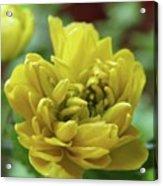 Yellow Shy Acrylic Print
