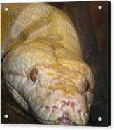 Yellow Snake Acrylic Print