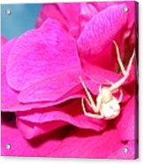 Yellow Spider Acrylic Print