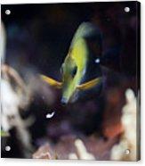 Yellow Spotted Aquarium Fish Acrylic Print