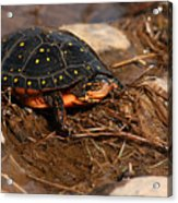 Yellow-spotted Turtle Crawling Through Wetland Acrylic Print