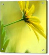 Yellow Spring Daisy Abstract By Kaye Menner Acrylic Print