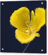 Yellow Star Tulip - Calochortus Monophyllus Acrylic Print