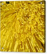 Yellow Strings Acrylic Print