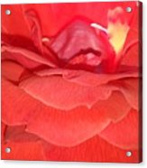 Yellow-striped Red Rose Acrylic Print