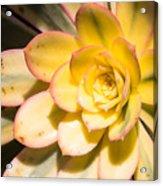 Yellow Succulent Acrylic Print