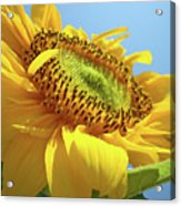 Yellow Sunflower Blue Sky Art Prints Baslee Troutman Acrylic Print