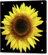 Yellow Sunflower Isolated On Black Background 8 Acrylic Print