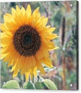 Yellow Sunflower Acrylic Print