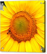 Yellow Sunflower With Bee Acrylic Print