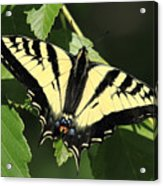Yellow Swallow Tail Butterfly Acrylic Print