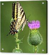 Yellow Swallow Tail Acrylic Print