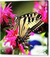 Yellow Swallowtail     Acrylic Print