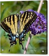 Yellow Swallowtail Butterfly Two Acrylic Print