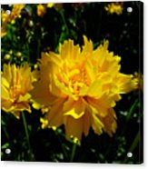 Yellow Symphony Acrylic Print