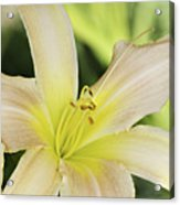 Yellow Tan Lily 1 Acrylic Print by Roger Snyder
